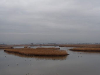 オオヒシクイ、ハクチョウたちがいなくなった潟はちょっぴり寂しいような。