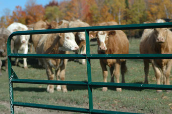 Group of cattle in a field behind a green gate.