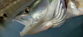 Fischmaul oder Fischgesicht auf Krawall gebürstet