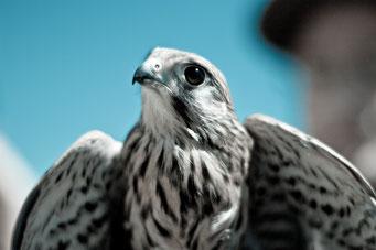 Falke - Foto von Giovanni Calia