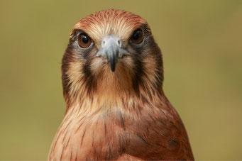 Falke - Foto von Georgina Steiler