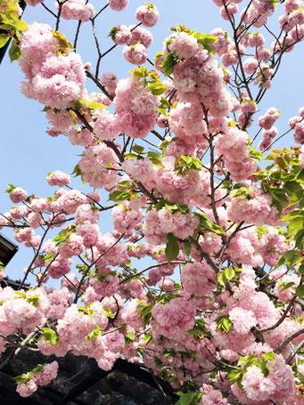 当店近くで咲いていた八重桜