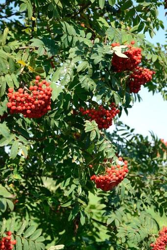 Vogelbeere mit reifen Früchten