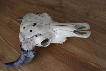 Schädel: elfenbein - Hörner: Natur (mit Glanzlack)