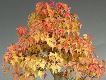 Herbstfärbung eines Dreispitzahorn, Acer buergerianum