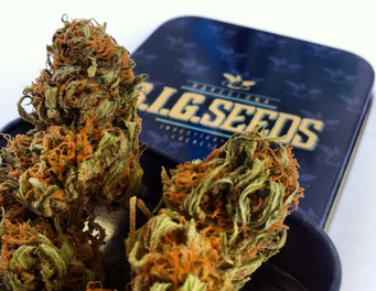 sorteo semillas marihuana feminizadas big seeds