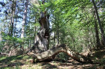 Die Warner Eiche im Naturpark Eichsfeld-Hainich-Werratal