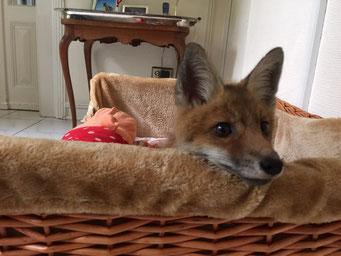 Neugieriger Fuchs bei HOPE
