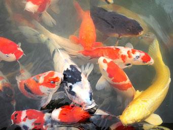 pisciculture dorme jura poissons d'ornement