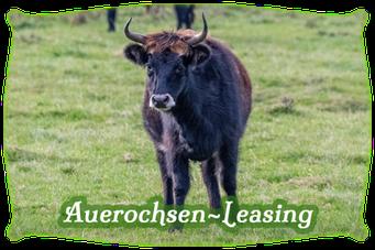 Mein BioRind | Auerochsen-Leasing
