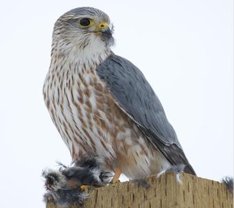 Merlin - Foto von Raj Boora