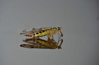 _JPM4175_Panorpe-Mouche scorpion-Panorpa communis-Common Scorpion Fly-Mecoptera