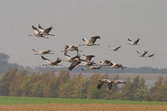 Fliegende Kraniche (Foto: Klemens Karkow)