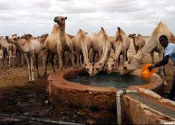 Cammelli somali