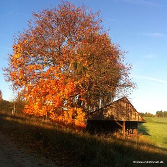 Großer Ahornbaum