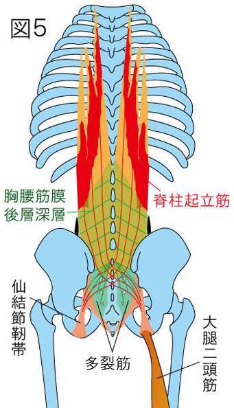 胸腰筋膜 大腿二頭筋 仙結節靭帯 脊柱起立筋 多裂筋