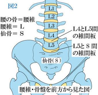 腰椎と骨盤
