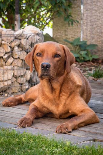 Unsere foxred Labrador-Hündin Ruby