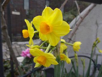 スイセンが咲きました@うちの玄関