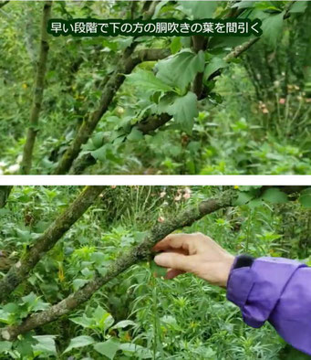 刺し芽の作り方~博多の白~