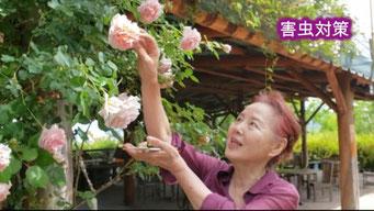 バラの害虫対策