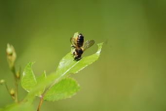 Blattschneiderbiene bei der Arbeit