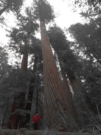 k sten mammutbaum sequoia sempervirens als waldspezialist baumschule f r klimawandelgeh lze. Black Bedroom Furniture Sets. Home Design Ideas