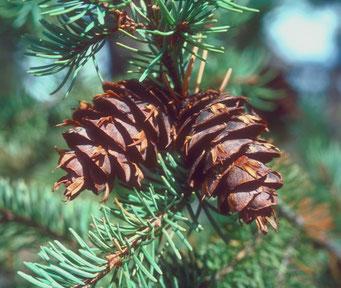 Douglasie Weihnachtsbaum Kaufen.Blaue Douglasie Pseudotsuga Menziesii Glauca Als Besonderer