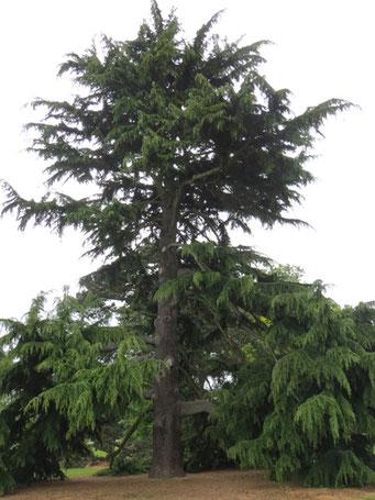 Weihnachtsbaum England.Himalaya Zeder Cedrus Deodora Als Besonderer Weihnachtsbaum
