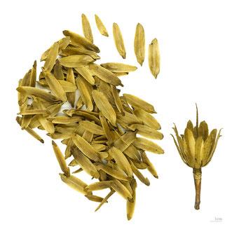 Tulpenbaum Liriodendron Tulipifera Als Waldspezialist
