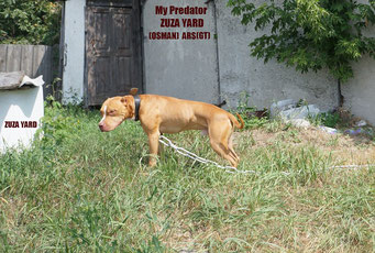 My predatory breed incredible is rich in the successful pure Indian