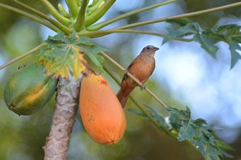 Ppaya gesund Health Healthlove Blog Wirkung Kerne Fruchtfleisch Vitamin C