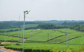 宇部市小野の茶畑