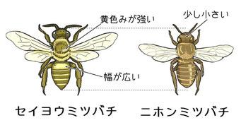 ニホンミツバチとセイヨウミツバチ