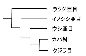 鯨偶蹄目の系統図