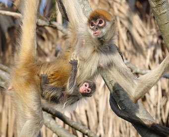 ジェフロイクモザル の赤ちゃん