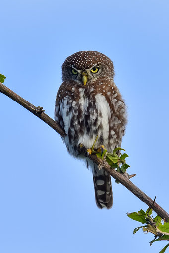 Laufend wird die Bird List erweitert, hier eine Pearl-spotted Owlet