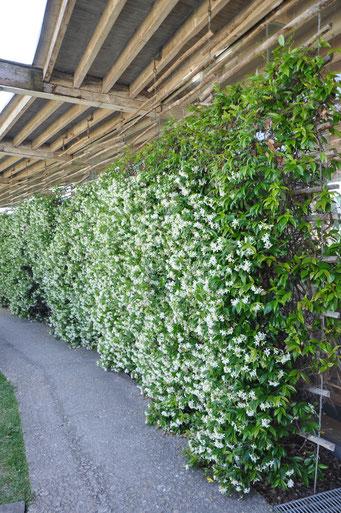©Javoy Plantes - Jasmin étoilé 'Trachelospermum jasminoïdes'