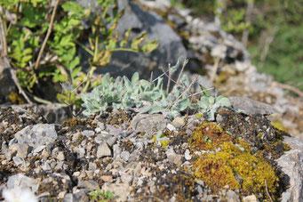 Hieracium Mixtum - Foto: NABU/F. Gade, J. Grabow-Klucken