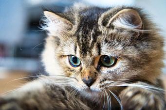 #Britisch Langhaar, #highlander, #black silver tipped, #ns11, #Katzenzucht, #Katze, #cattery, #Katzenzüchter, #Fina und Linus, #ilovecats, #cats love,