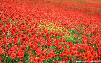 Champ de coquelicots, poppy day in Great Britain