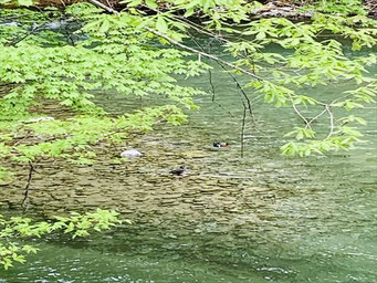 ▲川底の石と被ってわかりづらいですが、夫婦仲良く楽しそう