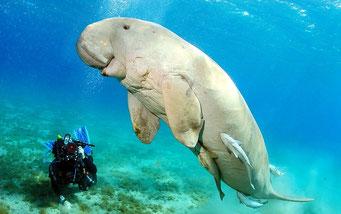 Dugongo, il grande amico del mare