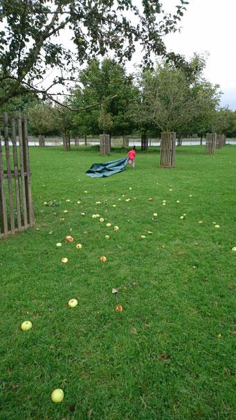 Obsternte - Äpfel vom Baum rütteln