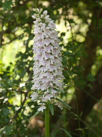 Ophrys holoserica / Geflecktes Knabenkraut_