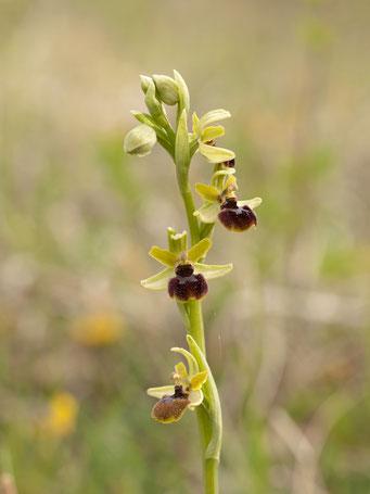 Ophrys araneola / Spinnenragwurz