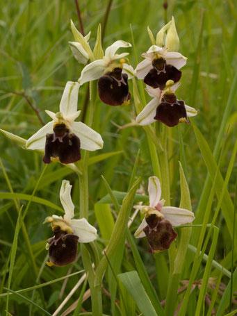 Ophrys holoserica / Hummel-Ragwurz