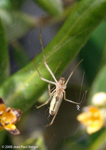 Araignée sur Avicennia - Mangrove d'Al Qanatir (Ouest d'Abu-Dhabi)