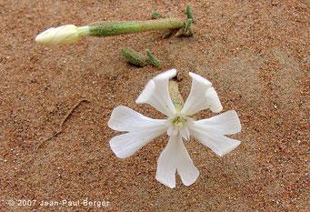 Silene villosa - Dunes de la région d'Al Dhaid (jeunes germinations fleuries après la pluie)