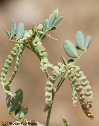 Hippocrepis constricta - Wadi Daynah